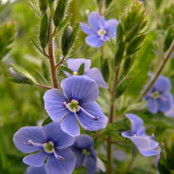 Botanical - Veronica gentianoides