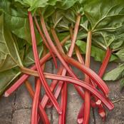 Botanical - Rheum rhabarbarum