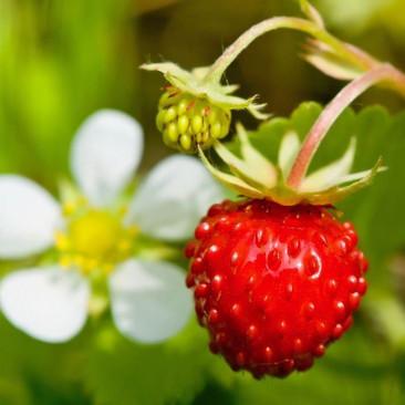 Botanical - Fragaria vesca