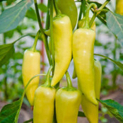 Chilli Seeds - Volante Hot Red F1 - Groseeds
