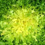 Botanical - Cichorium endivia