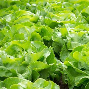 Botanical - Lactuca sativa