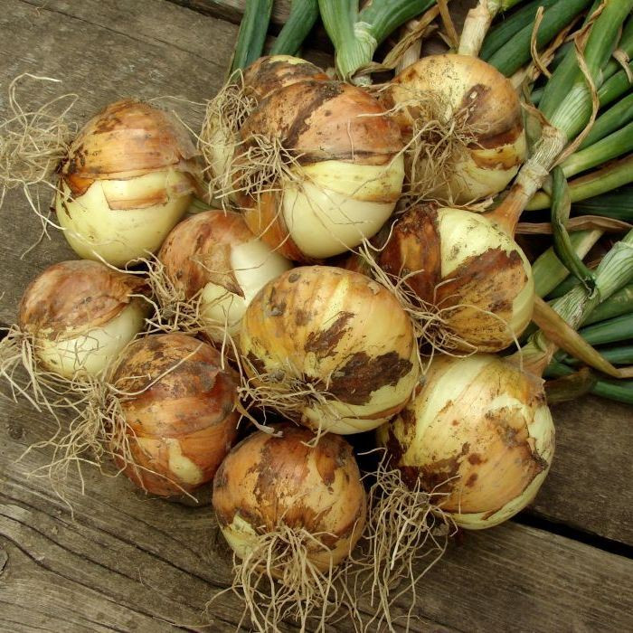 Onion Allium cepa Sturon - Stock Image - C009/1166
