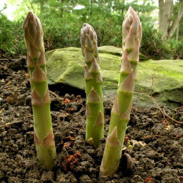 Botanical - Asparagus officinalis