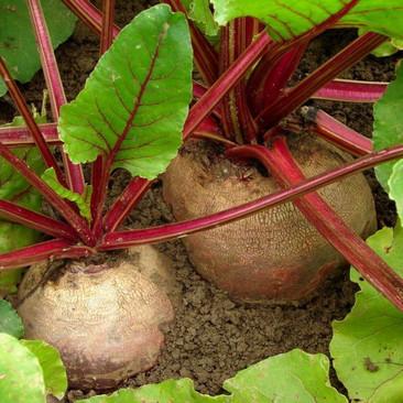 Botanical - Beta vulgaris