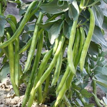 Botanical - Vicia faba