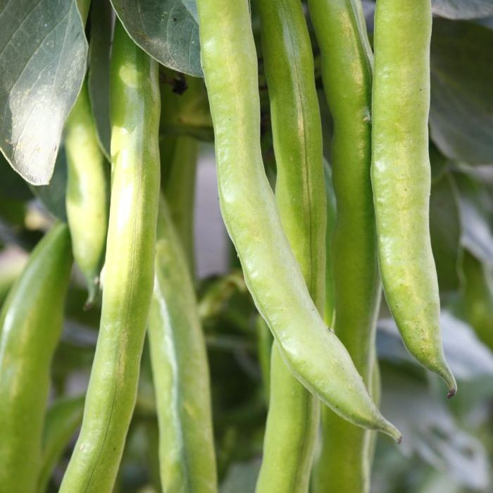 4 Packs of Broad Bean Seeds Broad Aquadulce Bunyards Exhibition Sutton Dwarf Masterpiece Vegetables UK Supplier HA Defra Certified Seed Supplier 1 x 4 Packets