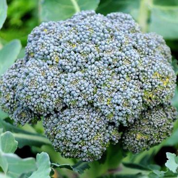 Botanical - Brassica oleracea (Italica group)