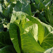 Botanical - Brassica oleracea
