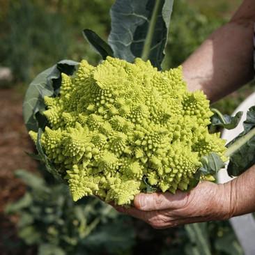 Botanical - Brassica oleracea (Botrytis group)