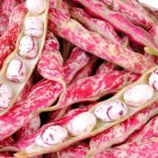 Botanical - Phaseolus vulgaris