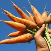 Botanical - Daucus carota