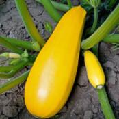 Botanical - Cucurbita pepo