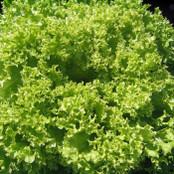 Botanical - Latuca sativa