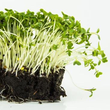 Botanical - Lepidium sativum