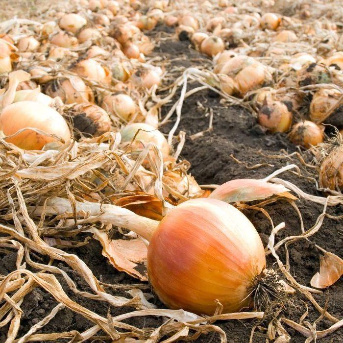 Onion Seed Shirleys Giant Exhibition   Allium cepa   Buy