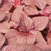 Botanical - Amaranthus cruentus