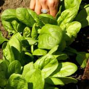 Botanical - Spinacia oleracea