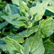 Botanical - Tetragonia tetragonioides