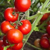 Botanical - Solanum Lycopersicum