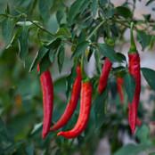 Botanical - Capsicum annuum