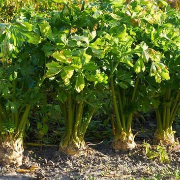 Botanical Name - Apium graveolens (var. rapaceum)