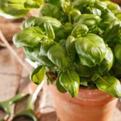 Botanical - Ocimum basillicum