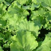Kale Seeds - Pentland Brig