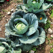 Cabbage Seeds - Candissa F1