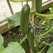 Cucumber Seeds - Mini Munch F1