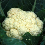 Cauliflower Seeds - Aalsmeer