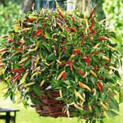 Chilli Seeds - Volante Hot Red F1