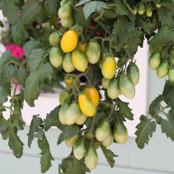 Tomato Seeds - Peardrops