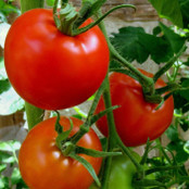 Tomato Seeds - Amateur