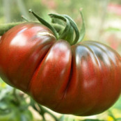 Tomato Seeds - Black Russian