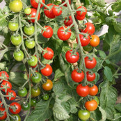 Tomato Seeds - Cherrola F1