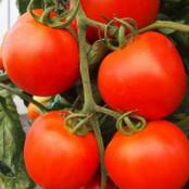 Tomato Seeds - Akron F1