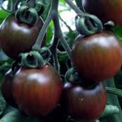Tomato Seeds - Black Opal