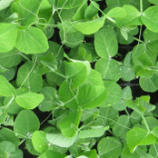 Pea Shoot Seeds - Serge