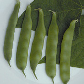 Pea Seeds - Pea Bean