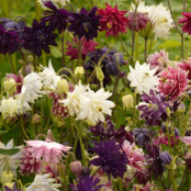 Aquilegia Seeds - Barlow Mixed