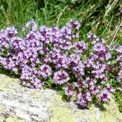 Creeping Thyme 'Thymus serpyllum' Seeds