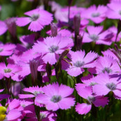 Wildflower Seeds - Dianthus Maiden Pink