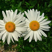 Wildflower Seeds - Oxeye Daisy