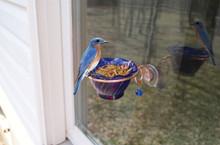 Copper Bluebird Mealworm Window Feeder