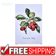 Prunus Cherry LLD0029 Cherry Botanical Art Print Fruit Kitchen
