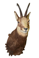 Black Forest European Chamois on Mounting Plaque, Taxidermy