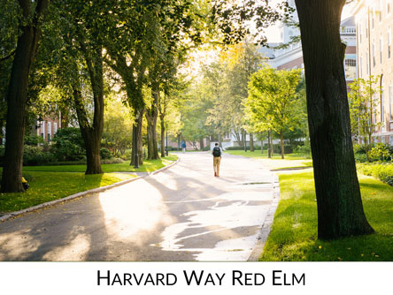 Harvard Way Red Elm Icon