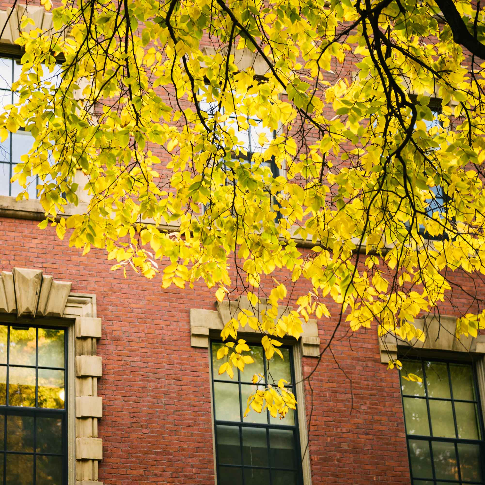 yellow-elm-leaf-harvard-yard.jpg