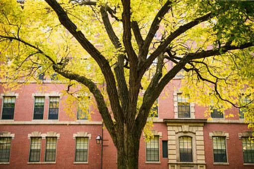 Yellow Tree Harvard Yard